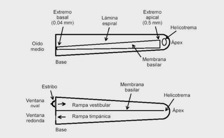 coclea-desenrollada